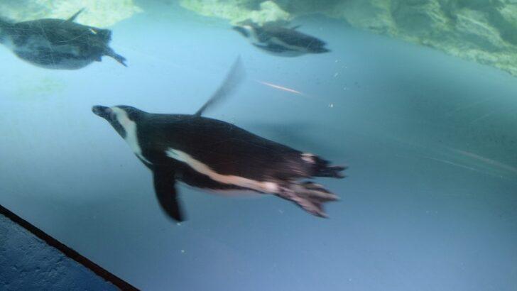 Mystic Aquarium's annual Fun Run for Penguins goes virtual